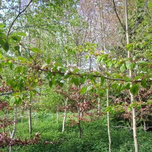 Photographie n°117824 du taxon Prunus avium (L.) L. [1755]