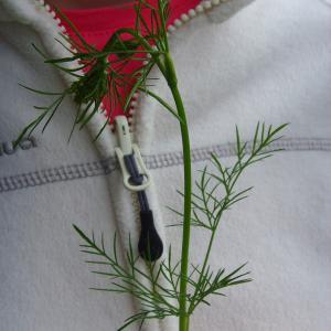 Photographie n°118022 du taxon Conopodium majus (Gouan) Loret
