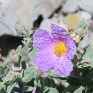 Photographie n°118174 du taxon Cistus albidus L. [1753]