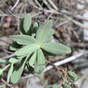 Photographie n°118179 du taxon Cistus albidus L. [1753]