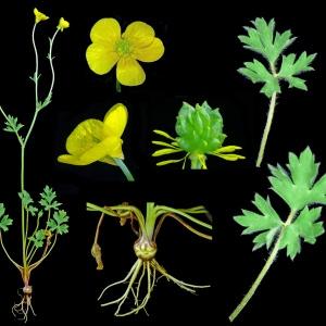 Photographie n°118244 du taxon Ranunculus bulbosus L. [1753]