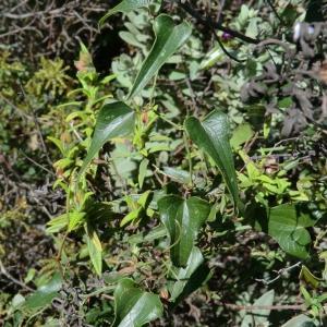 Photographie n°118252 du taxon Smilax aspera L. [1753]