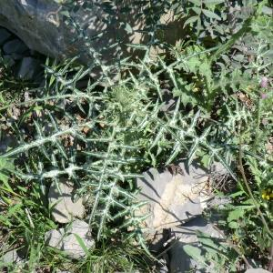 Photographie n°118379 du taxon Asteraceae