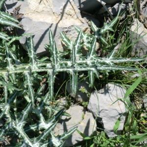 Photographie n°118380 du taxon Asteraceae