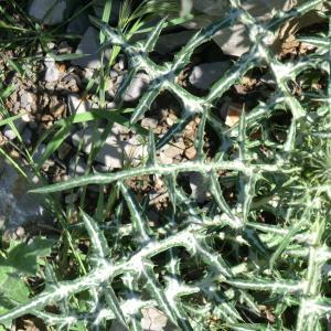 Photographie n°118381 du taxon Asteraceae