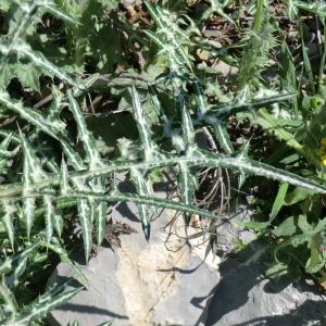 Photographie n°118382 du taxon Asteraceae