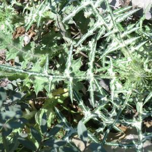 Photographie n°118383 du taxon Asteraceae
