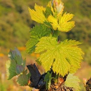 Photographie n°118568 du taxon Vitis vinifera subsp. vinifera