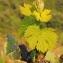 Marie  Portas - Vitis vinifera subsp. vinifera