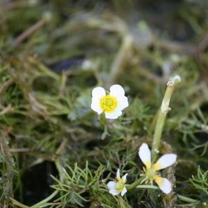 Photographie n°118613 du taxon Ranunculus baudotii Godr. [1840]