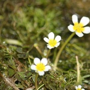 Photographie n°118619 du taxon Ranunculus baudotii Godr. [1840]