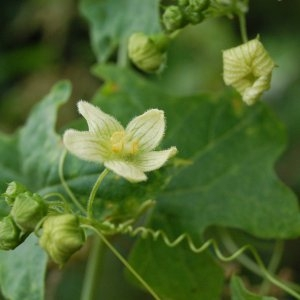 Photographie n°118699 du taxon Bryonia dioica Jacq. [1774]