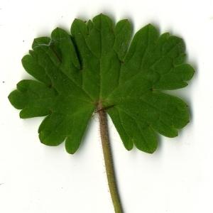 - Geranium rotundifolium L. [1753]