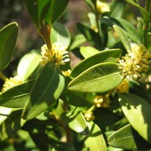 Photographie n°119058 du taxon Buxus sempervirens L. [1753]