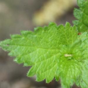 Photographie n°119175 du taxon Veronica chamaedrys L. [1753]
