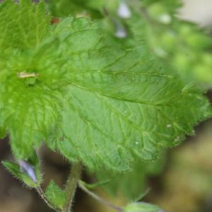 Photographie n°119176 du taxon Veronica chamaedrys L. [1753]