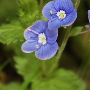 Photographie n°119185 du taxon Veronica chamaedrys L. [1753]