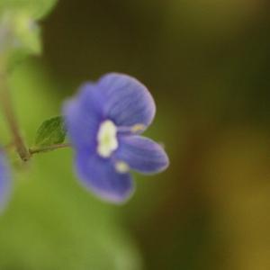 Photographie n°119186 du taxon Veronica chamaedrys L. [1753]