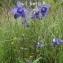 Nordine MIMOUNI - Aquilegia vulgaris L. [1753]