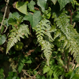 Photographie n°119215 du taxon Asplenium adiantum-nigrum L.