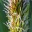 Marie  Portas - Carex riparia Curtis [1783]