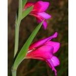 Gladiolus x byzantinus Mill. (Glaïeul de Byzance)