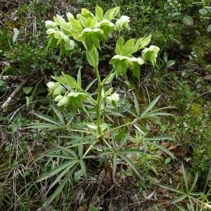 Photographie n°119293 du taxon Helleborus foetidus L. [1753]
