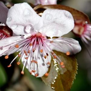 - Rosaceae