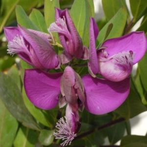 Polygala myrtifolia L. [1753] (Polygala à feuilles de myrte)