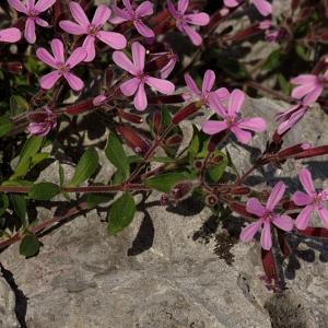Photographie n°119339 du taxon Saponaria ocymoides L.