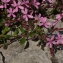 Daniel K - Saponaria ocymoides L.
