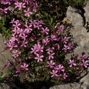 Photographie n°119340 du taxon Saponaria ocymoides L.