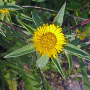 Pallenis spinosa (L.) Cass. (Astérolide épineux)