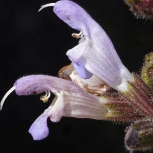 Salvia fruticosa Mill. [1768] (Sauge de Grèce)