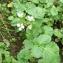 Mathieu Sinet - Cardamine raphanifolia subsp. raphanifolia