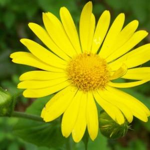 Doronicum cordatum Lam. (Doronic à feuilles cordées)