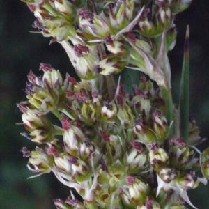 Juncus acutus L. (Jonc à tépales pointus)