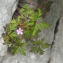 Liliane Roubaudi - Geranium robertianum subsp. purpureum (Vill.) Nyman [1878]