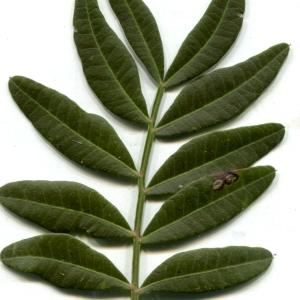 - Pistacia lentiscus L. [1753]
