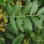 Liliane Roubaudi - Pistacia lentiscus L.