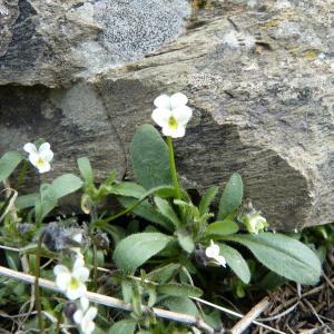 Viola parvula Tineo (Petite Pensée)