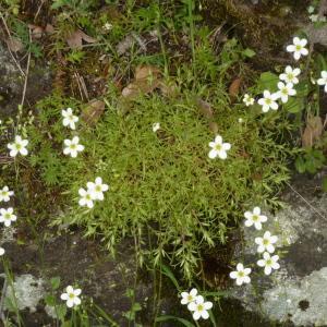- Saxifraga hypnoides L.