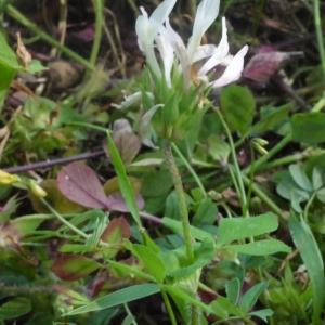 Photographie n°119784 du taxon Trifolium L. [1753]