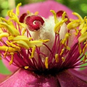Paeonia mascula (L.) Mill. subsp. mascula (Pivoine coralline)
