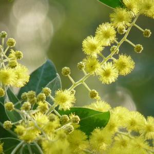 Acacia sp.