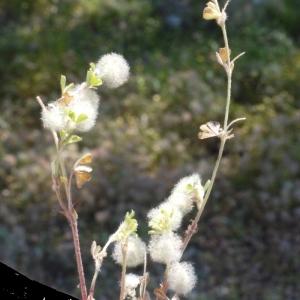 Photographie n°119935 du taxon Trifolium L. [1753]