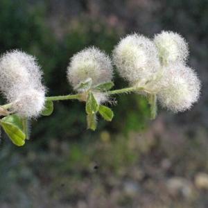 Photographie n°119941 du taxon Trifolium L. [1753]