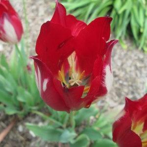 Tulipa aximensis Jord. ex Baker (Tulipe d'Aime)