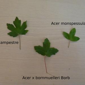 Acer x bornmuelleri Borbás (Érable de Bornmüller)
