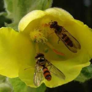 Photographie n°120044 du taxon Verbascum thapsus L.